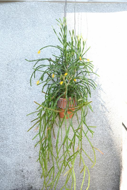 リプサリス水苔植えその後