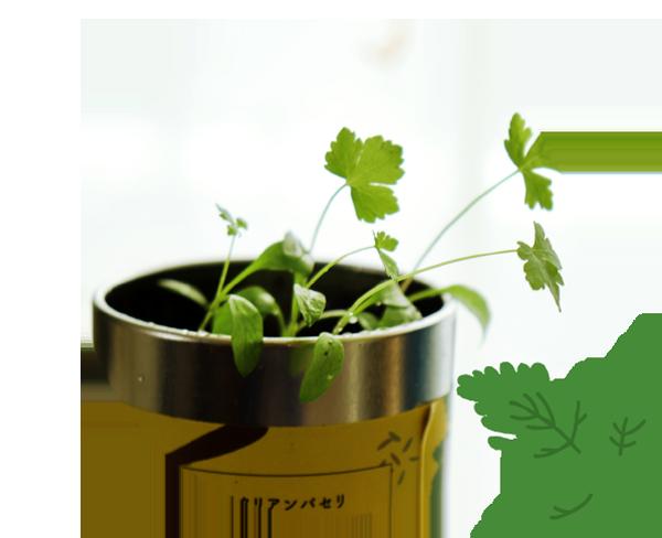イタリアンパセリ,italian parsley