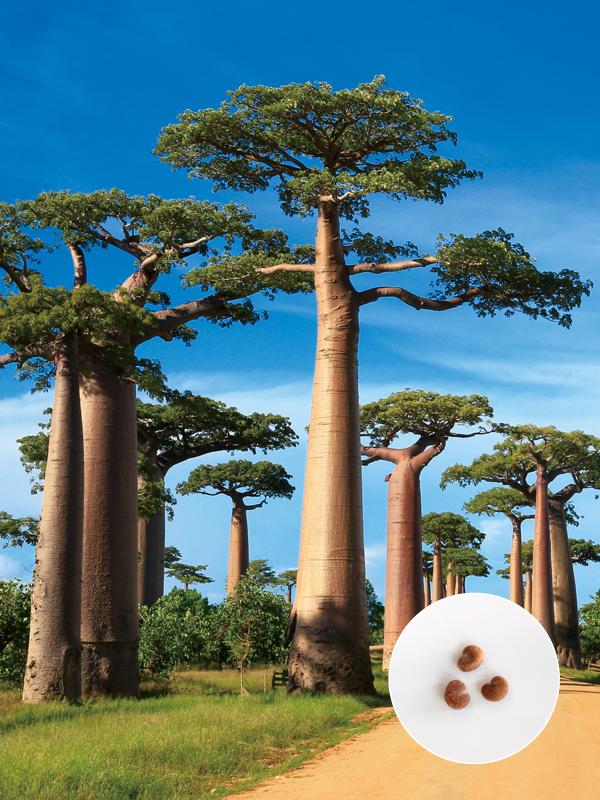 バオバブ,baobab